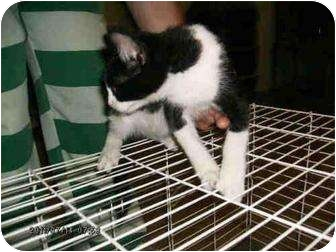 Domestic Shorthair Kitten for adoption in Yuba City, California - Gene