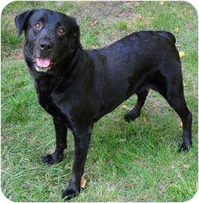 Labrador Retriever Dog for adoption in Chicago, Illinois - Hillary