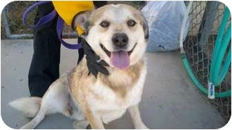 Australian Cattle Dog Mix Dog for adoption in Chino Valley, Arizona - Hank