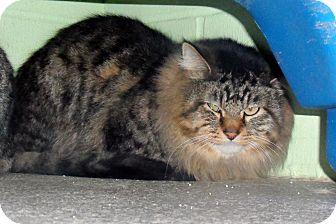 Domestic Mediumhair Cat for adoption in Atchison, Kansas - Jack