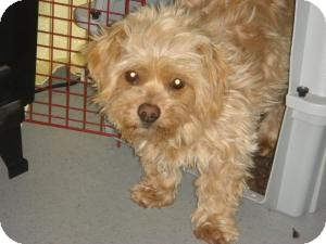 Norfolk Terrier Mix Dog for adoption in Encino, California - Maggie May
