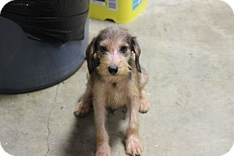 Miniature Schnauzer Mix Puppy for adoption in Boonsboro, Maryland - Tater