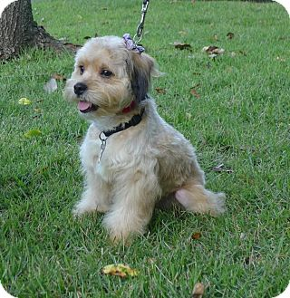 Cocker Spaniel/Terrier (Unknown Type, Small) Mix Dog for adoption in North Little Rock, Arkansas - Skittles