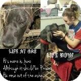 Great Dane Dog for adoption in Phoenix, Arizona - Meet Juno Saturday