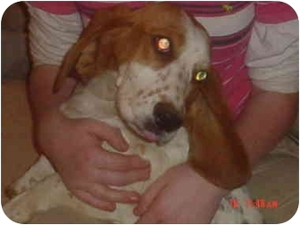 Basset Hound Mix Dog for adoption in Eaton, Indiana - sabrina