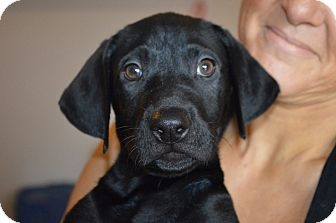 Labrador Retriever Mix Puppy for adoption in Marshfield, Massachusetts - Angelo-adoption in progress
