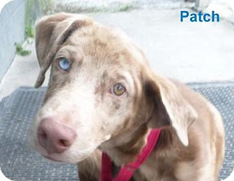 Catahoula Leopard Dog Mix Puppy for adoption in Georgetown, South Carolina - Patch