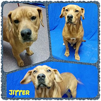 Hound (Unknown Type)/American Staffordshire Terrier Mix Dog for adoption in Louisburg, North Carolina - Jitter