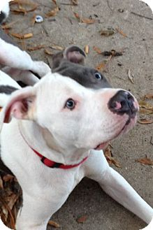 Boxer/American Bulldog Mix Dog for adoption in Memphis, Tennessee - Angus