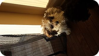 Yorkie, Yorkshire Terrier/Poodle (Toy or Tea Cup) Mix Puppy for adoption in Algonquin, Illinois - Ginger