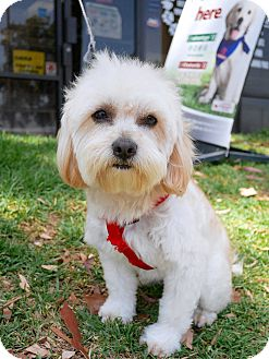 Maltese/Poodle (Standard) Mix Dog for adoption in Montclair, California - Nelson