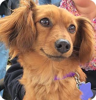 Dachshund Mix Dog for adoption in San Francisco, California - Princess Pea
