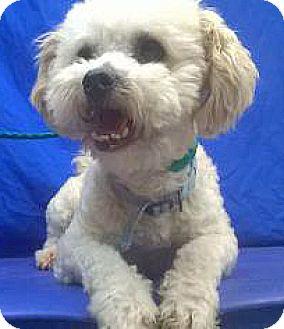Poodle (Miniature) Mix Dog for adoption in Spokane, Washington - Meatball