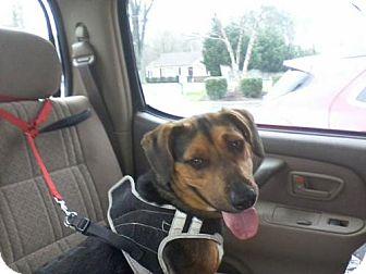 Basset Hound/Corgi Mix Dog for adoption in Point Pleasant, Pennsylvania - BEATRICE-PENDING ADOPTION