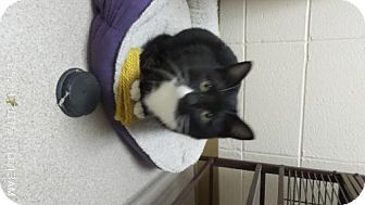 Domestic Shorthair Cat for adoption in Crown Point, Indiana - Tuxedo