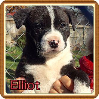 Labrador Retriever/Mountain Cur Mix Puppy for adoption in Cranford, New Jersey - Elliott
