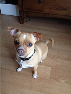 Chihuahua Dog for adoption in Temecula, California - Joey- female