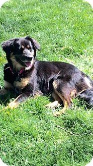 Australian Shepherd/Collie Mix Dog for adoption in Sagaponack, New York - Sugar Bear