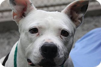 Pit Bull Terrier Mix Dog for adoption in Greensboro, North Carolina - Baby Boo
