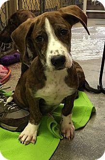 Basset Hound/Dachshund Mix Puppy for adoption in Battle Creek, Michigan - Jake