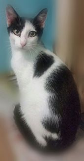 Domestic Shorthair Cat for adoption in Ocala, Florida - SIMON II
