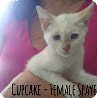 Domestic Shorthair Cat for adoption in Glendale, Arizona - CUPCAKE