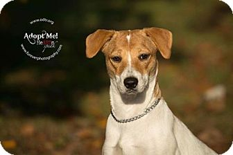 Jack Russell Terrier Mix Dog for adoption in Warsaw, Indiana - Queenie