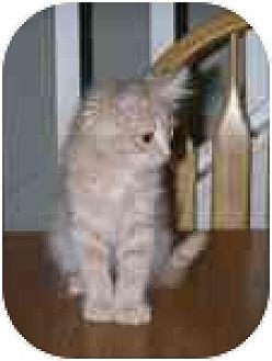 Domestic Longhair Kitten for adoption in Vacaville, California - Tuffy