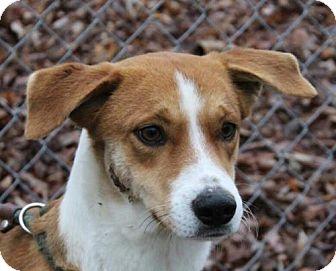 Collie Mix Puppy for adoption in Allentown, Pennsylvania - Heidi