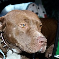 Adopt A Pet :: Roly-Poly Polly: TN, will transport - Fulton, MO