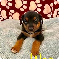Adopt A Pet :: PP - Wes - Tucson, AZ