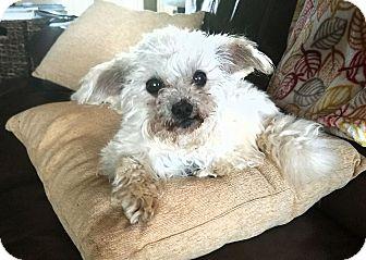 Maltese Mix Dog for adoption in Huntsville, Alabama - Murphy
