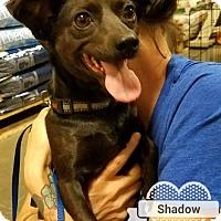 Adopt A Pet :: Shadow 2 - Las Vegas, NV