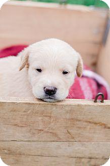 Golden Retriever Mix Puppy for adoption in Seneca, South Carolina - Midge $250