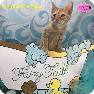 Domestic Shorthair Kitten for adoption in Winchester, Kentucky - Ferguson
