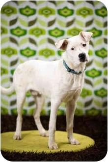 Boxer Mix Dog for adoption in Portland, Oregon - Gus