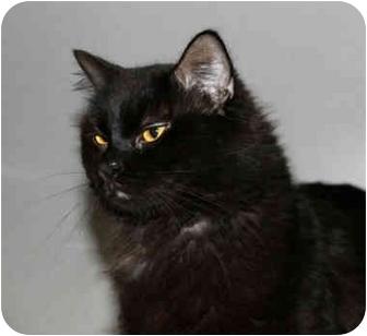 Domestic Mediumhair Cat for adoption in Brooklyn, New York - Coalie