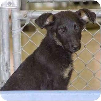 German Shepherd Dog/Doberman Pinscher Mix Puppy for adoption in Berkeley, California - Puppies
