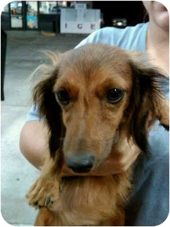 Dachshund Mix Dog for adoption in Crown Point, Indiana - Trixie