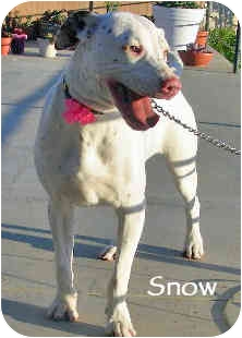 Dalmatian Puppy for adoption in Mandeville Canyon, California - Snow