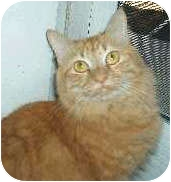 Domestic Mediumhair Cat for adoption in Chandler, Arizona - Juice