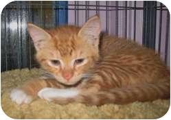Domestic Shorthair Kitten for adoption in Shelton, Washington - Nutmeg