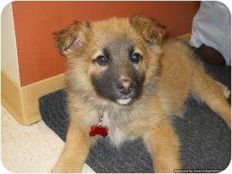 Shepherd (Unknown Type) Mix Puppy for adoption in Morden, Manitoba - Koda