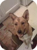 Shepherd (Unknown Type) Mix Dog for adoption in justin, Texas - Foxy
