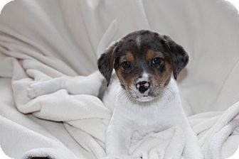 Australian Shepherd/Beagle Mix Puppy for adoption in West Milford, New Jersey - CHARLOS 6 wks.