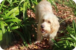 Poodle (Standard)/Basset Hound Mix Dog for adoption in Norwalk, Connecticut - Potter the Bassapoo