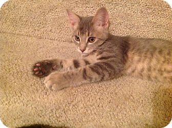 Domestic Shorthair Kitten for adoption in Des Moines, Iowa - Dawson
