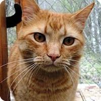 Domestic Shorthair Cat for adoption in Stuart, Virginia - Cato