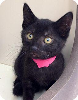Domestic Shorthair Kitten for adoption in Covington, Kentucky - Hattie