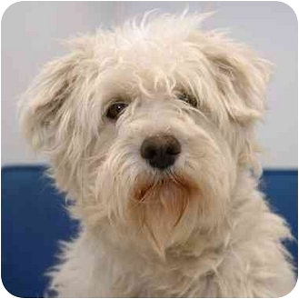 Westie, West Highland White Terrier/Poodle (Miniature) Mix Dog for adoption in Westfield, New York - Lindee